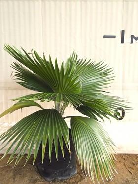 Hawaiian Fan Palm