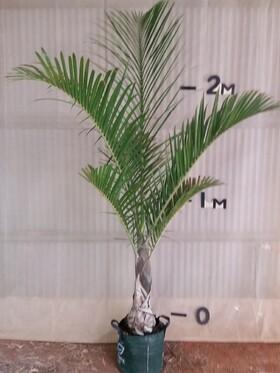 Splndle Palm
