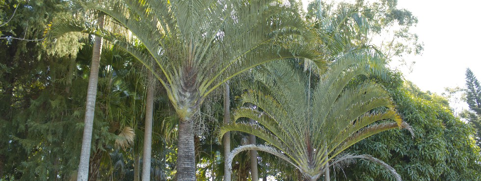triangle palms